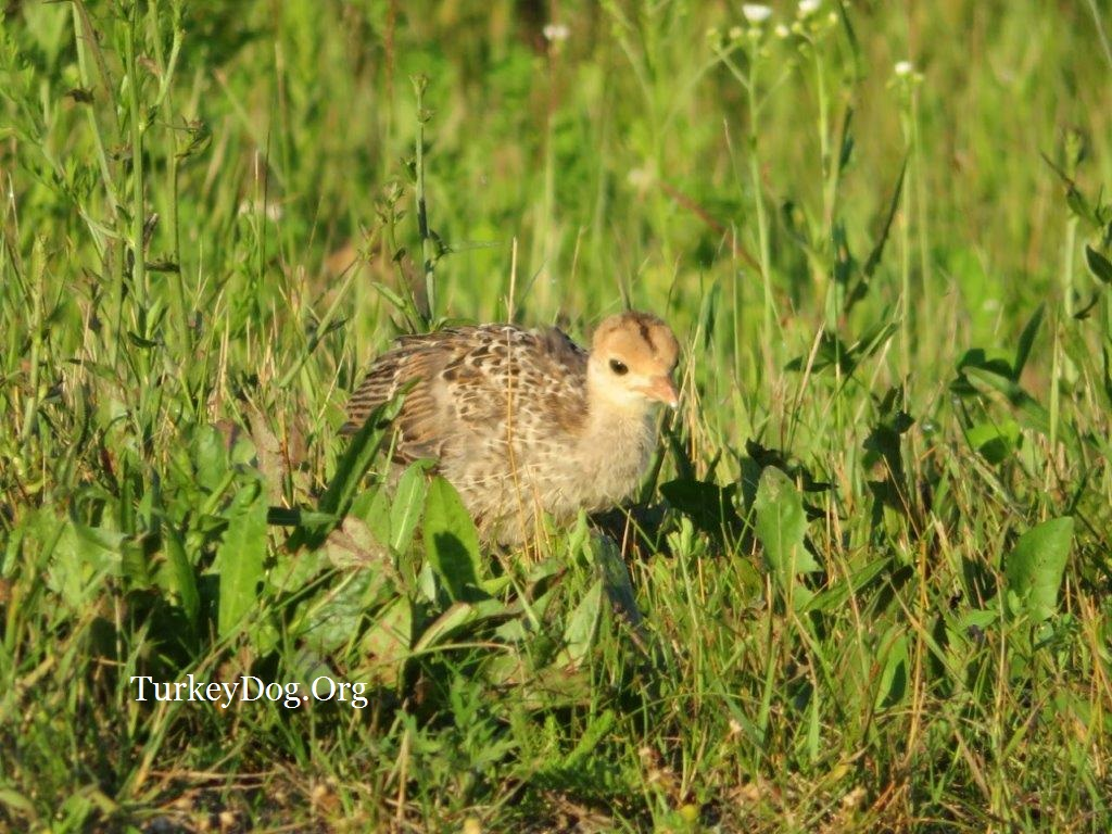 baby wild turkey chick
