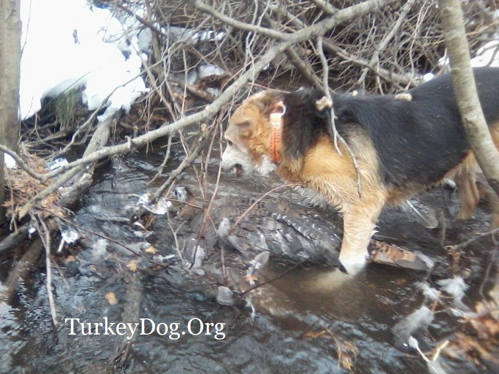 13 year old dog saves game, finds wounded turkey
