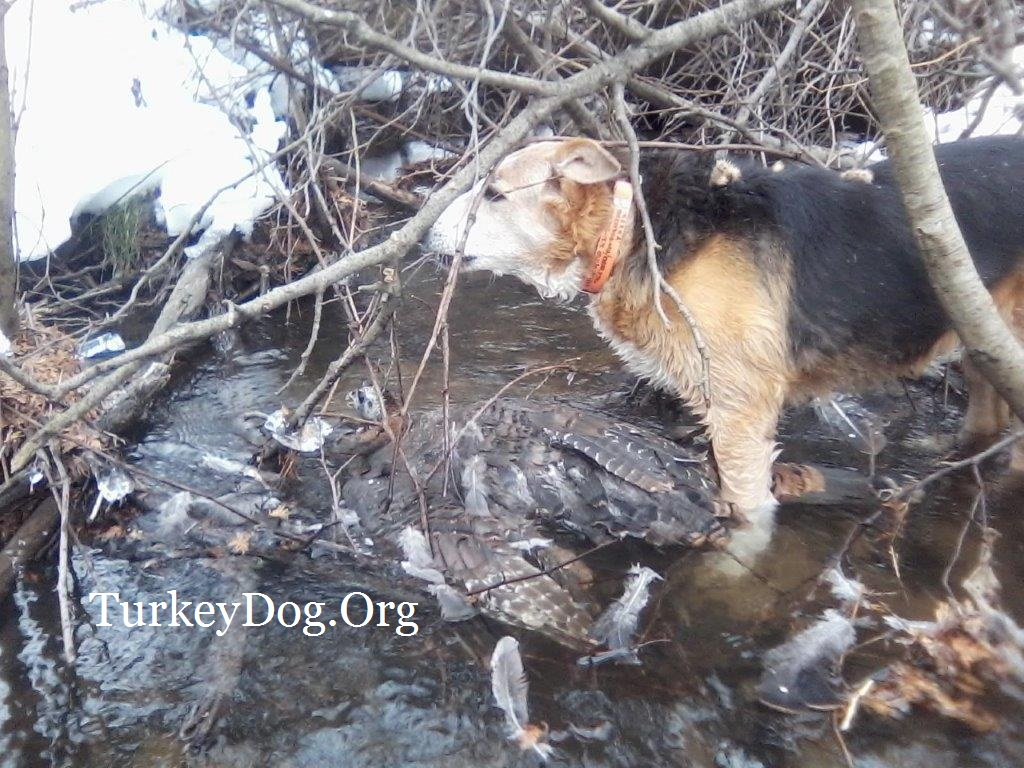 Old dog still able to find wounded turkey, saved game for hunter