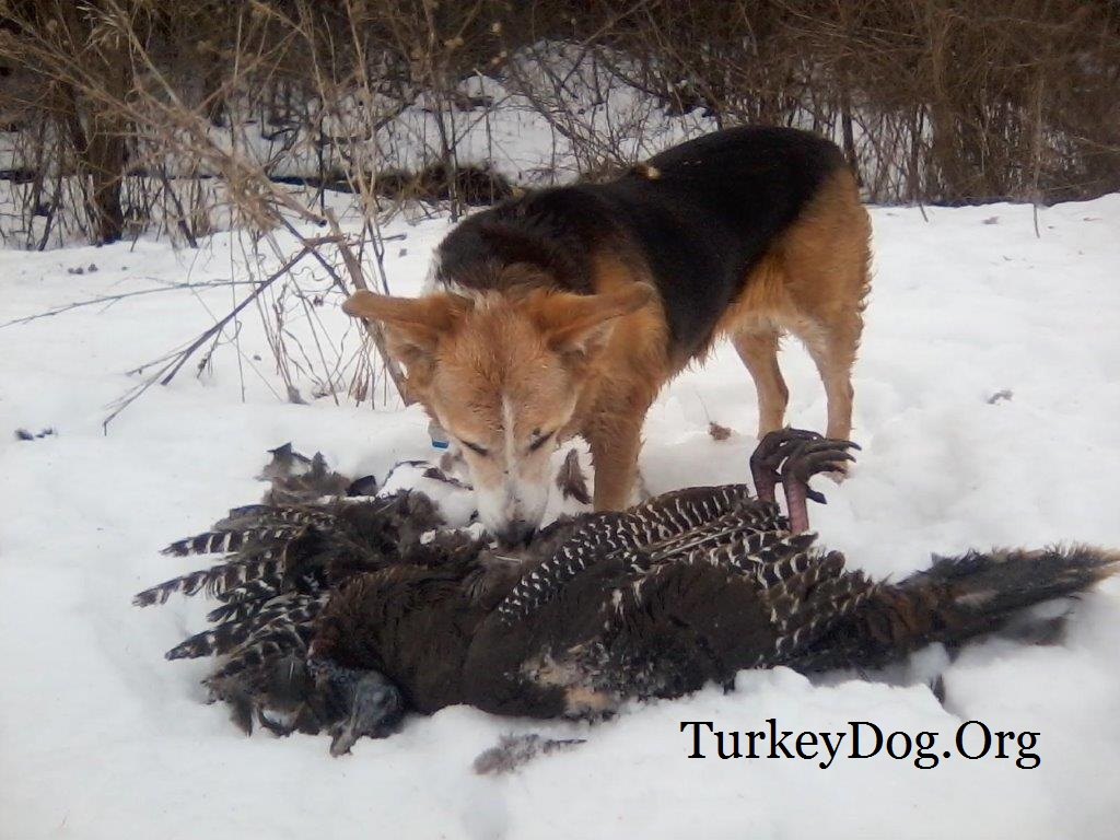 13 year old mongrel bird dog does remarkable things