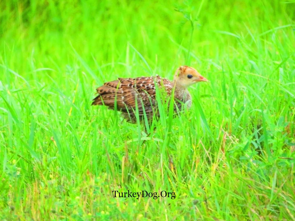 Beautiful wild turkey poult 18 days old