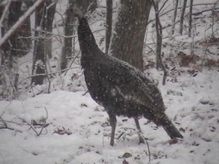 Snow Turkey