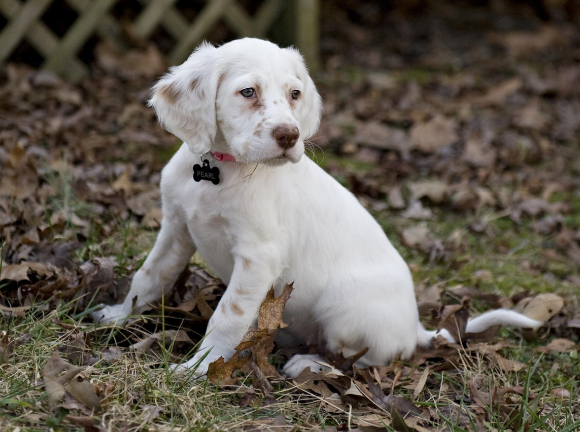 Beautiful Llewellin Settter Virginia Turkey Dog Puppy