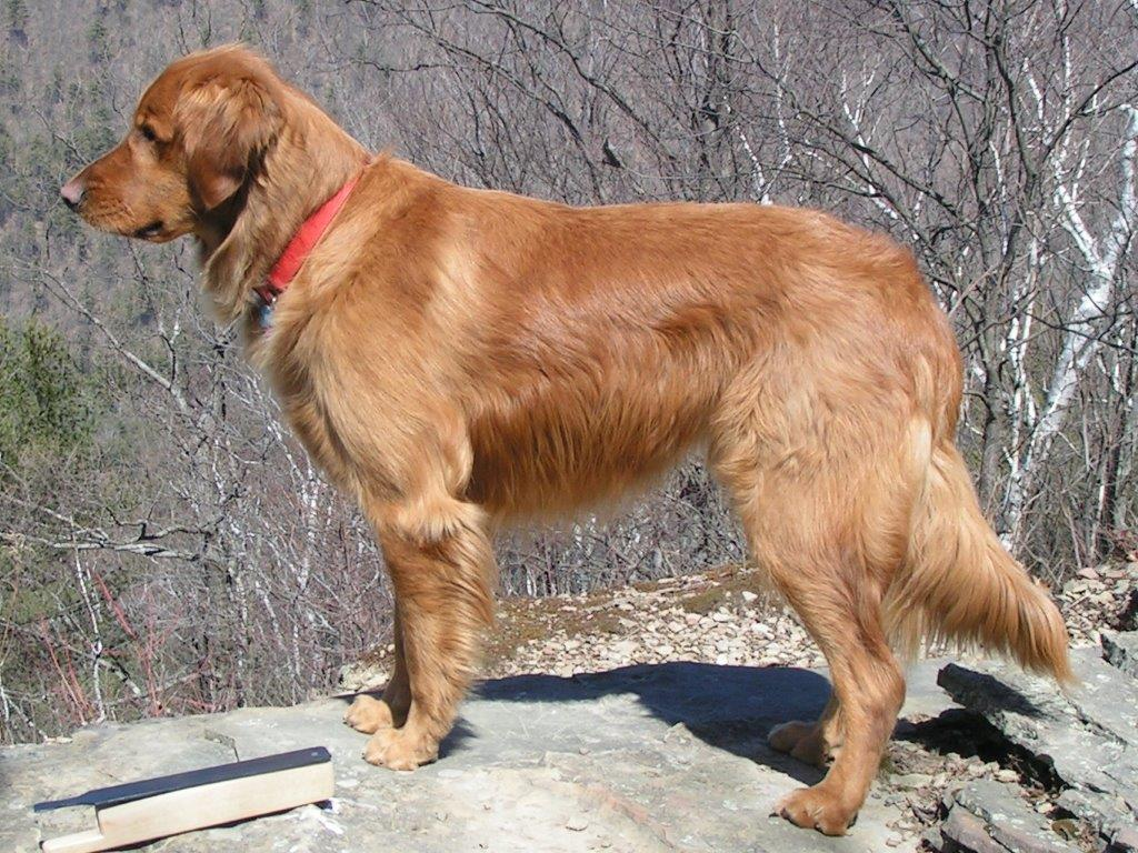 Nathan Beaston's PA golden retriever turkey dog Cooper