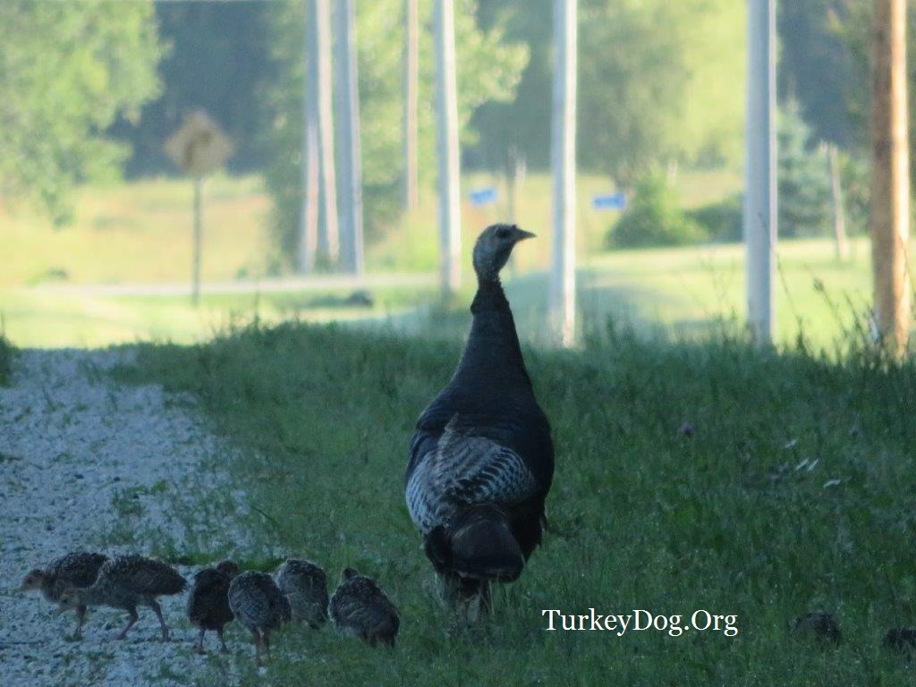Beautiful hen turkey with her brood of 13 poults in Wisconsin