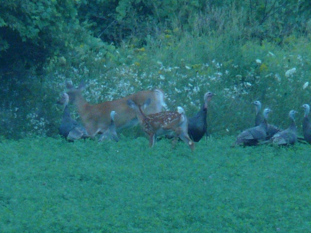 whiteteiled deer and wild turkeys are working together for protection