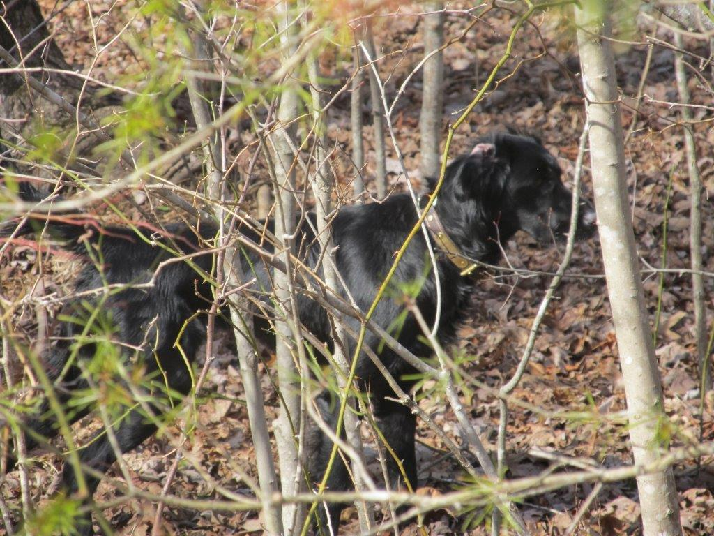 Coveted black dropper turkey hunting dog from Virginia