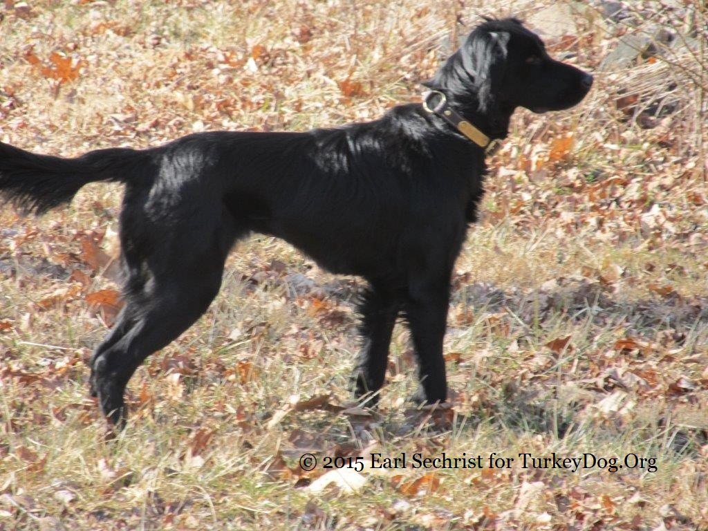 Beautiful black setter pointer dropper Virginia turkey dog