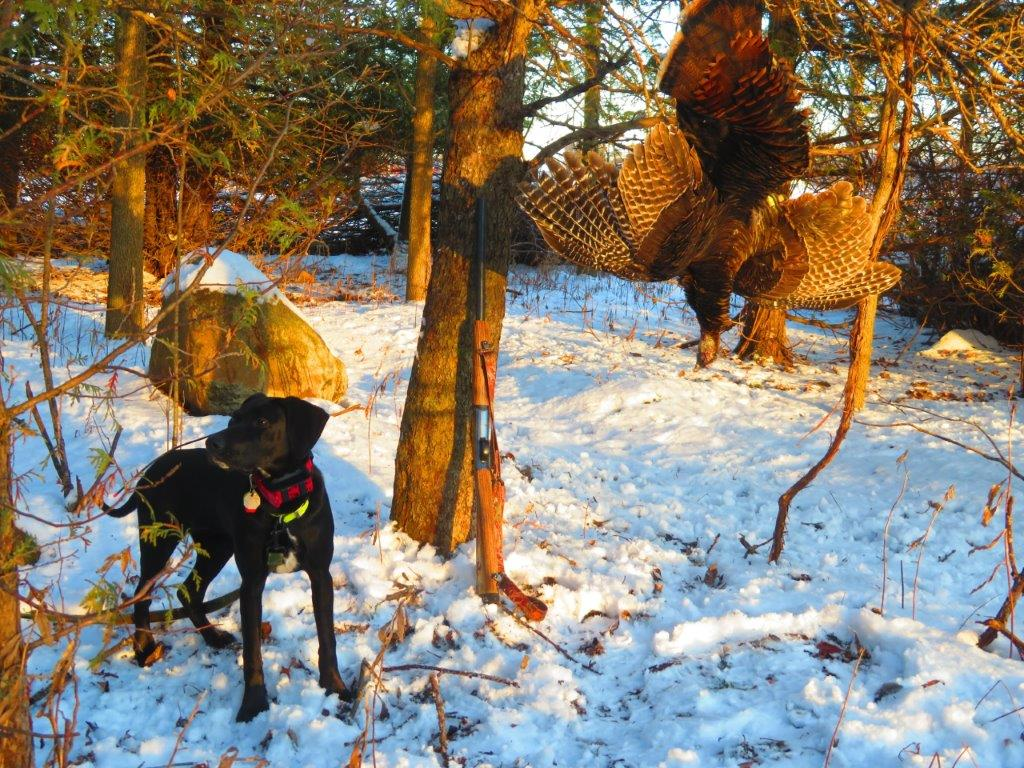 Wisconsin turkey dog Blackie
