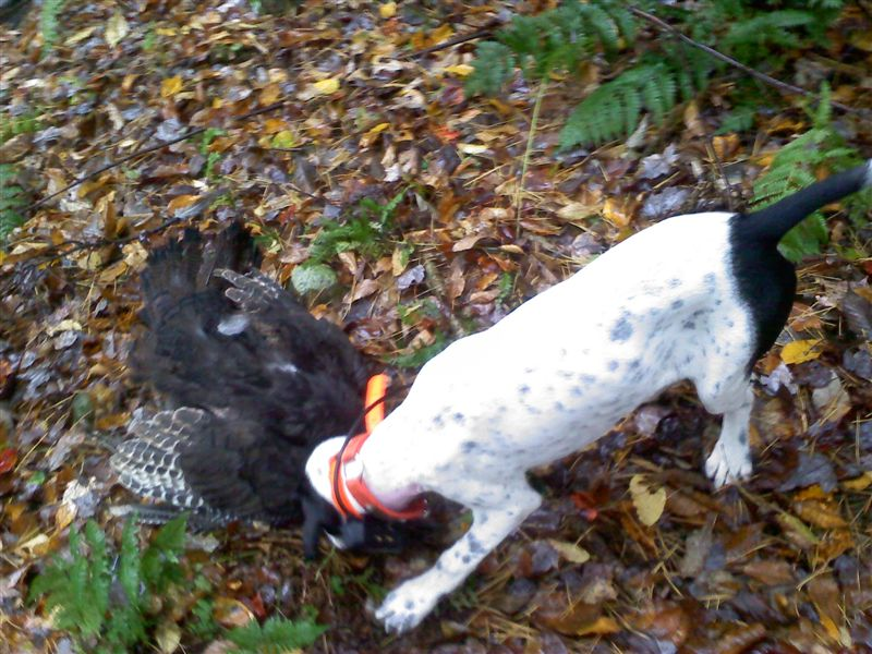 Gunner Seger's first turkey Fall 2010 at Ron Meek's New York Roost
