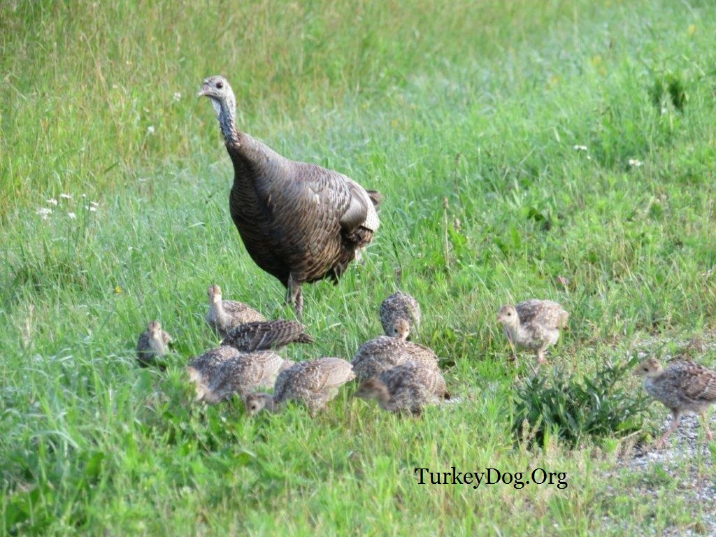 turkey hen with 13 poults in Wisconsin