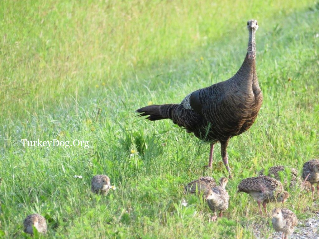 hen turkey with her brood of 13 poults