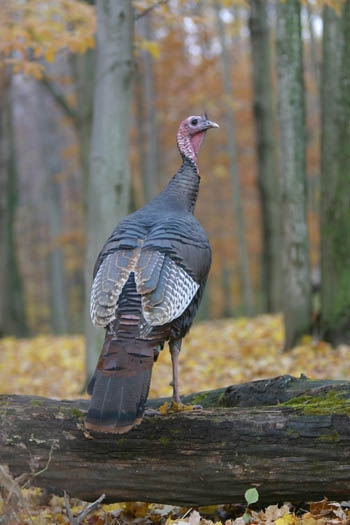 indians use snare and pole traps to