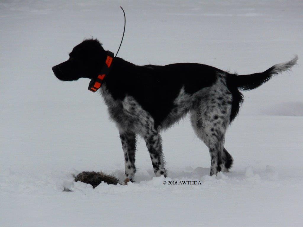 The fastest wild turkey hunting dog in the United