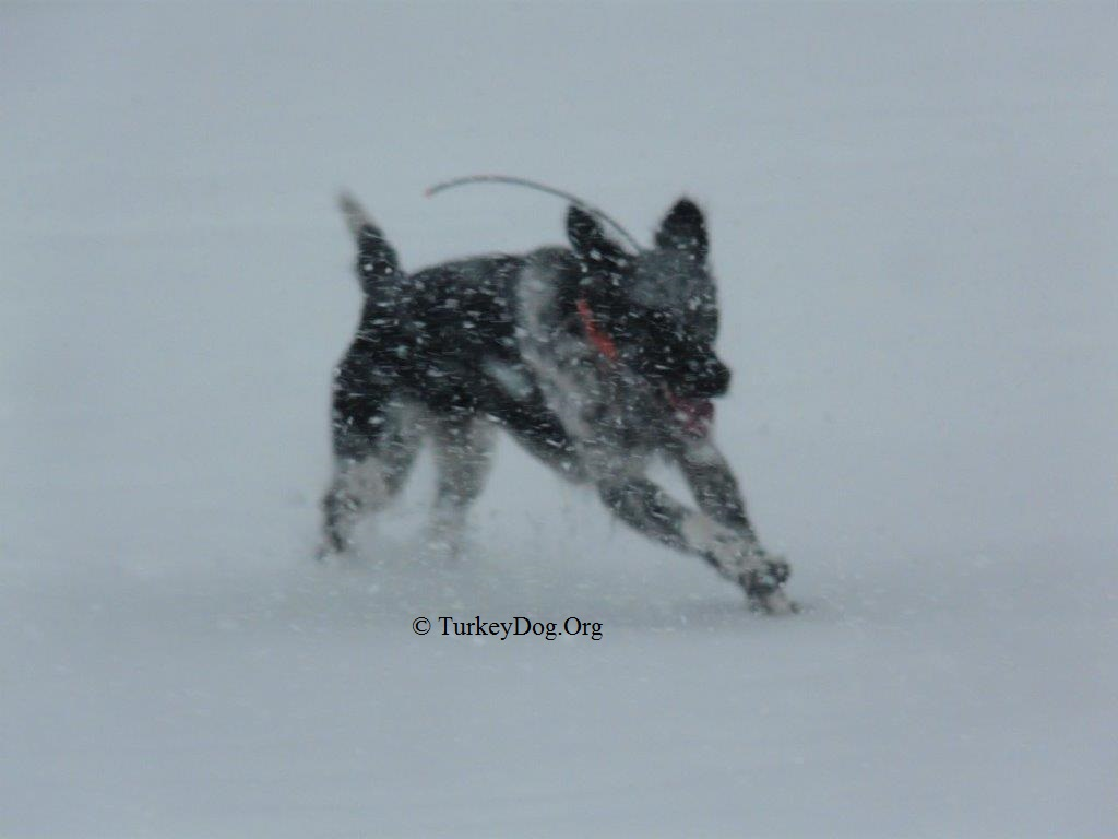 This turkey hunting dog is so