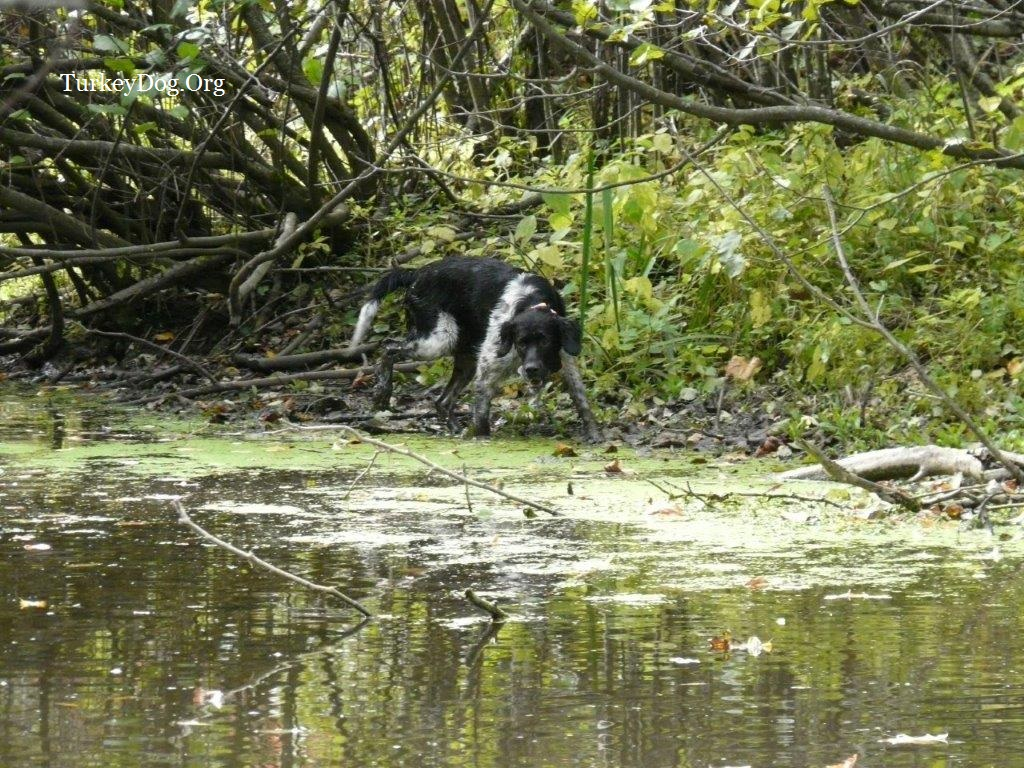 Dog hunting wild turkeys in the swamp