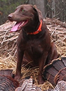 Tom McMurray's VA chocolate lab turkey dog Maggie