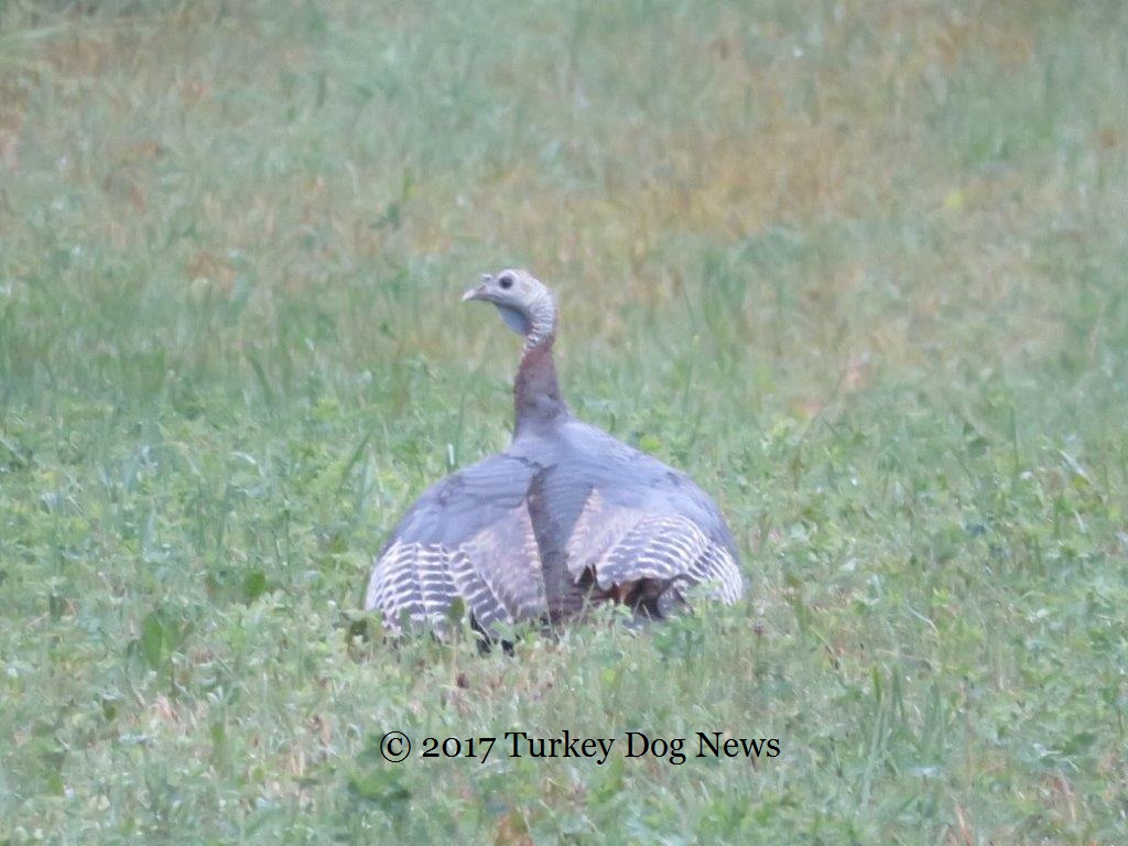 Hen turkey covers poults with wings in rain