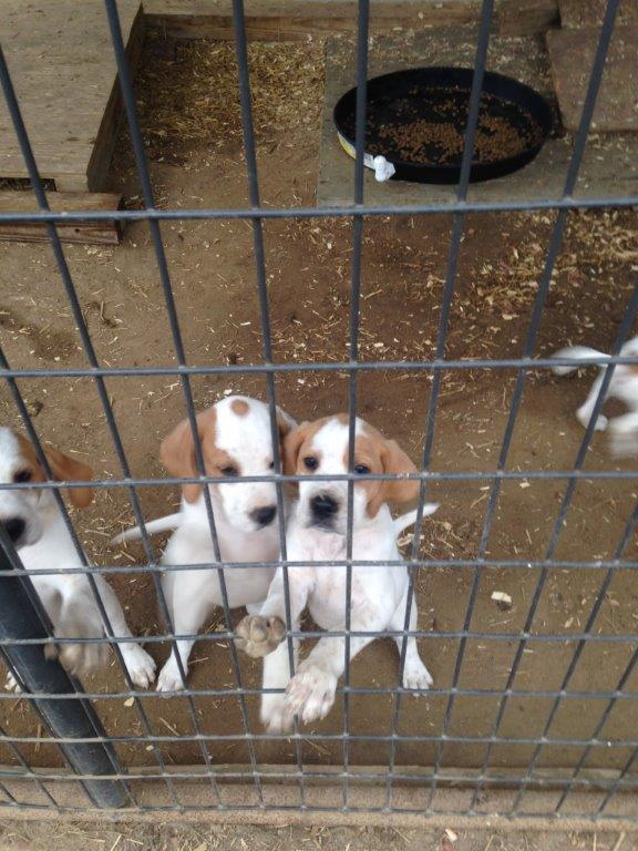 high speed Virginia turkey dog puppies 8 weeks old