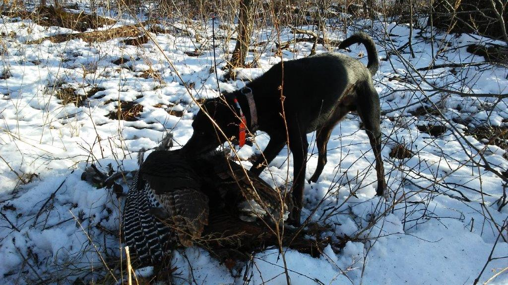 Wisconsin turkey dog Fisher from Pardeeville