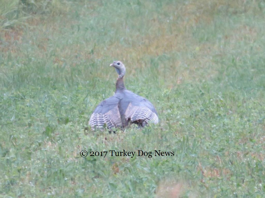 turkey hen protects poults from rain under wings