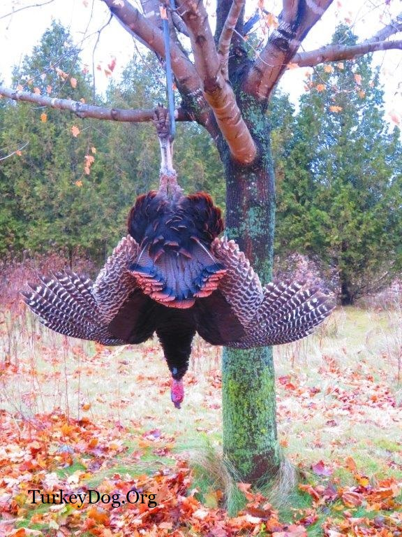 Hunting wild turkey gobblers in the fall and winter