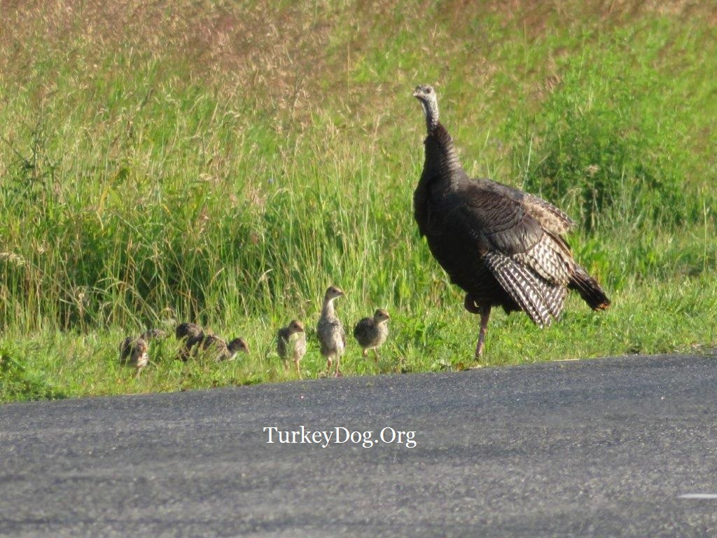 Wild turkey hen with 13 poults in Wisconsin