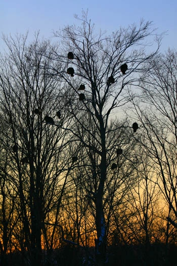 flock of wild
