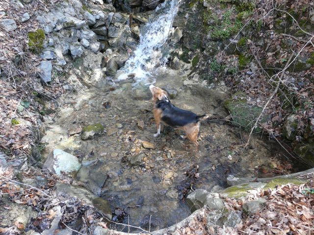 spring turkey dog cooling off in the mountain stream